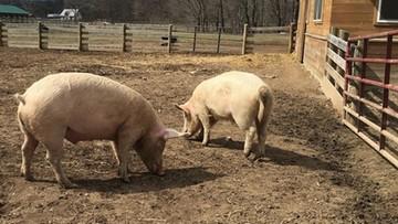 Wchodzą w życie przepisy ułatwiające ubój zwierząt