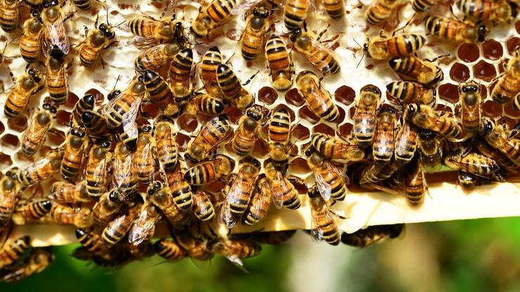 Rolnik z Pomorza opryskał pole rzepaku. Zginęły miliony pszczół