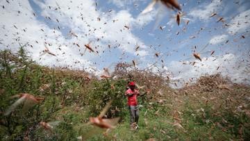 Plaga szarańczy w Afryce. Dziennie znika jedzenie dla 35 tys. ludzi [WIDEO]