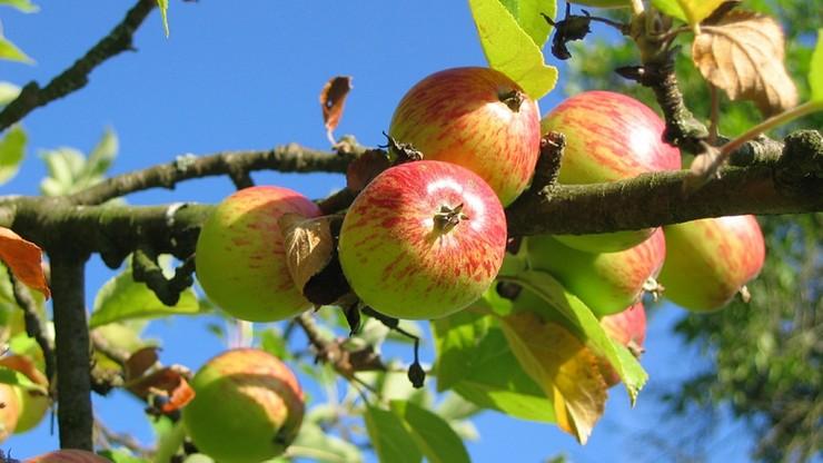 Sadownicy zapowiadają protest. Powodem niskie ceny skupu jabłek