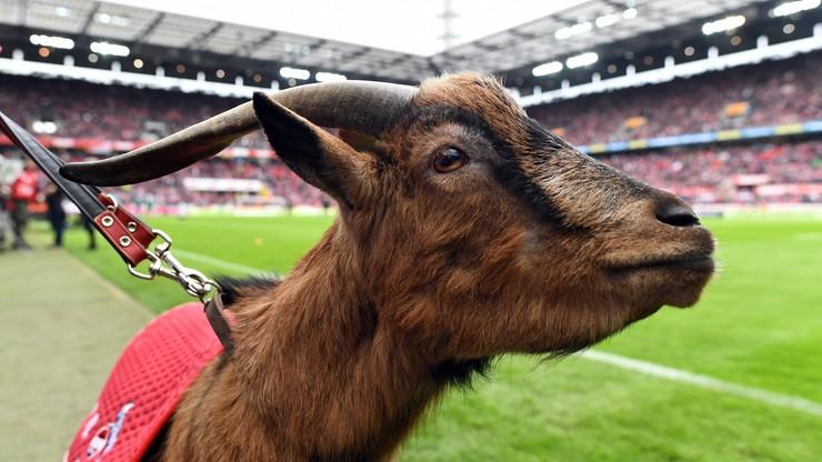 FC Koeln pożegnało słynnego koziołka. Wzruszający wpis klubu