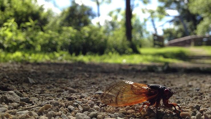 Niebawem koncert najbardziej niezwykłych insektów świata. Grają raz na 17 lat