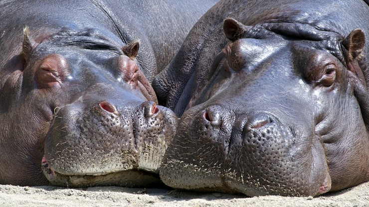 Hipopotamy Escobara uznane za osoby prawne