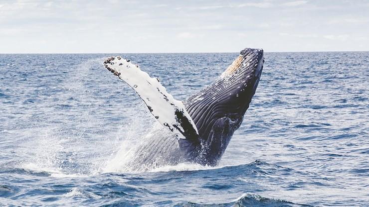 Bliskie spotkanie z wielorybem na Alasce. Waleń wyskoczył z wody tuż przy łodzi turystów