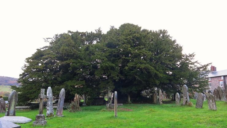 Najstarsze drzewo w Wielkiej Brytanii zmienia... płeć