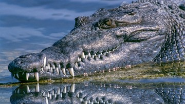 Policja szuka krokodyla, który uciekł z hodowli. Zwierzę waży ćwierć tony