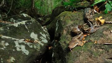 Najdłuższy wąż świata złapany w Malezji. Ma ponad 8 m długości