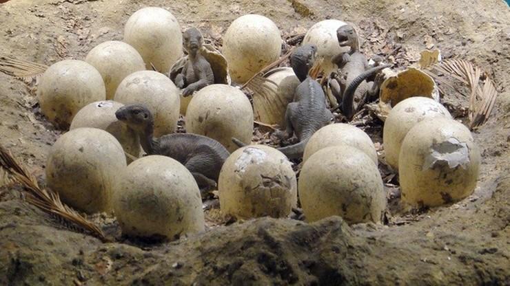 Odkryto ponad 20 skamieniałych jaj dinozaurów. Cztery z nich mogą zawierać embriony