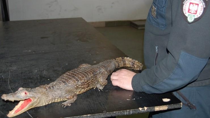 Przemycał spreparowanego krokodyla w walizce