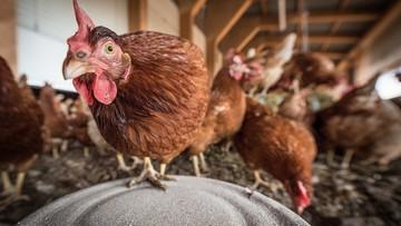 Nowe ognisko ptasiej grypy. W Wielkopolsce zutylizują 65 tys. kur niosek