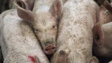 Podlaskie: blisko 1,1 tys. świń w kolejnym ognisku ASF