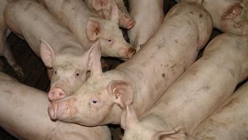 Zespół prokuratorów wyjaśni sprawę wirusa afrykańskiego pomoru świń