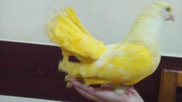 Farbowane gołębie udawały egzotyczne ptaki. Ukrainka oszukiwała turystów w Krakowie