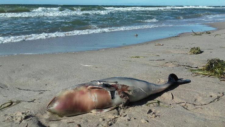 Znów martwe morświny i foki na polskim wybrzeżu. Jedna oskórowana [DRASTYCZNE ZDJĘCIA]