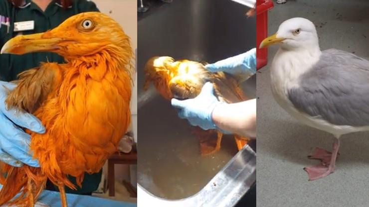 Farbowana mewa. Ptak, który wpadł w curry, podbija sieć