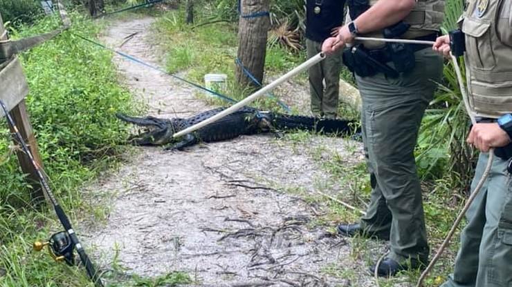 USA. Aligator zaatakował rowerzystę. Takie sytuacje to rzadkość
