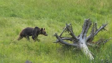 Chciał zrobić selfie z niedźwiedziem. Został pogryziony