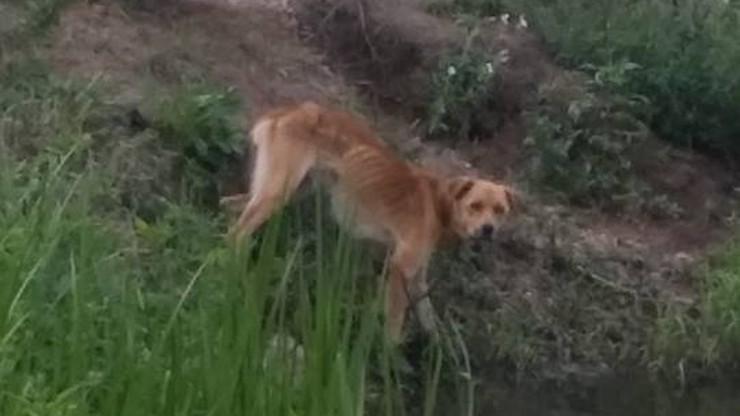 """49-latek głodził swojego psa - stróża, na koniec """"odczepił z łańcucha i zabił drewnianym kołkiem"""""""