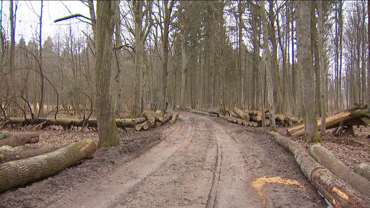 Stare dęby w Puszczy Białowieskiej poszły pod topór. Ekolodzy oburzeni, nadleśnictwo wyjaśnia