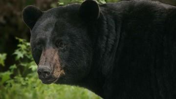 Były bokser starł się z dorosłym niedźwiedziem. Skończyło się na kilku zadrapaniach