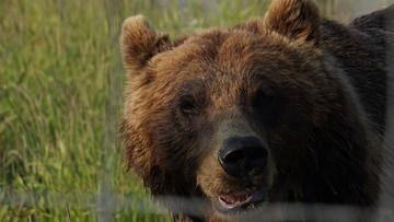 """Mieszkaniec Alaski przeżył atak niedźwiedzia. """"Wszędzie była krew"""""""