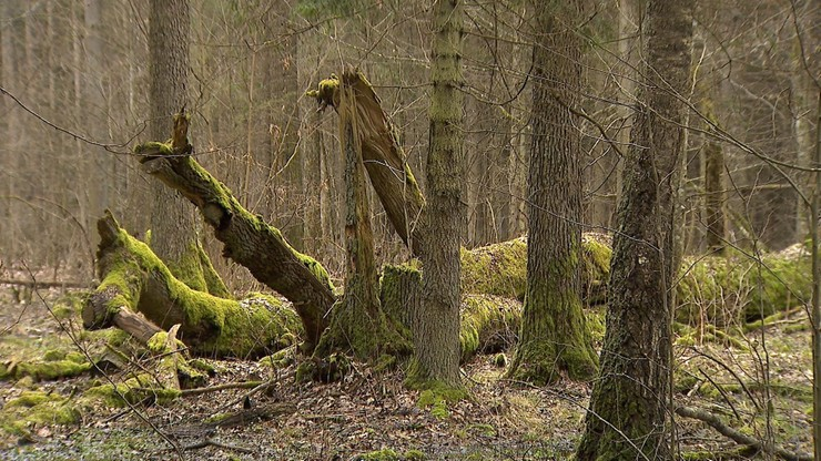 Co minister środowiska chce zrobić z Puszczą Białowieską