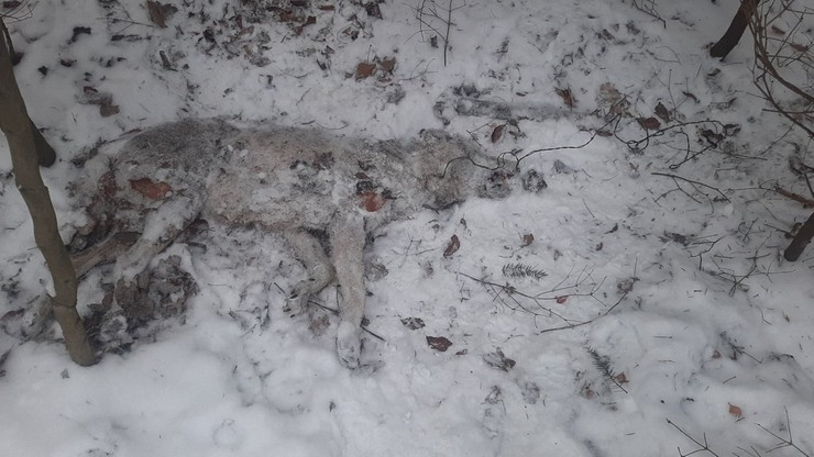 Martwa wilczyca z pętlą na szyi. Sprawę bada policja