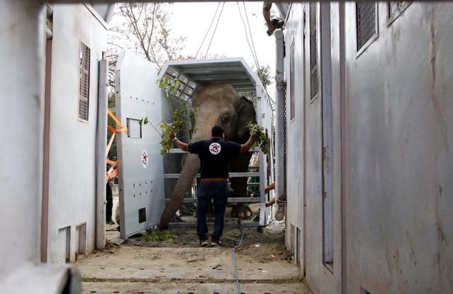 """""""Najbardziej samotny słoń świata"""" wyruszył do azylu"""