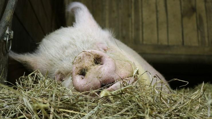 Świnie będą tanieć