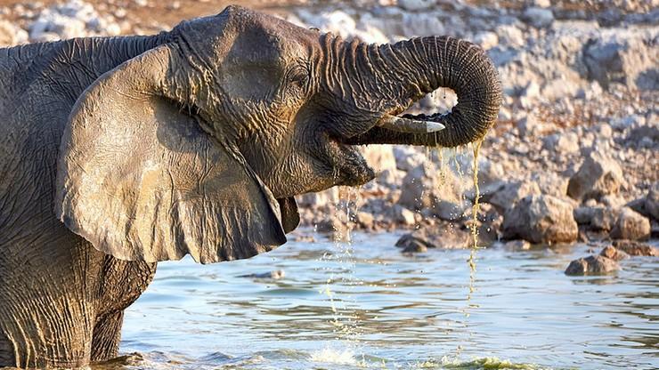Polowania doprowadziły do ewolucji słoni bez ciosów