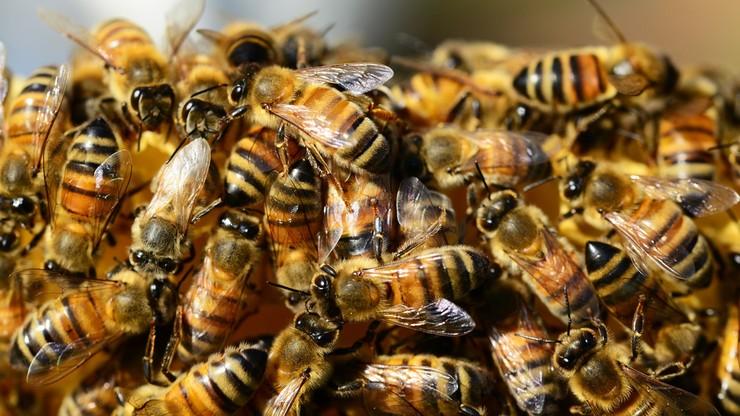 Ekolodzy donoszą do prokuratury na ministra rolnictwa. Chodzi o ochronę pszczół