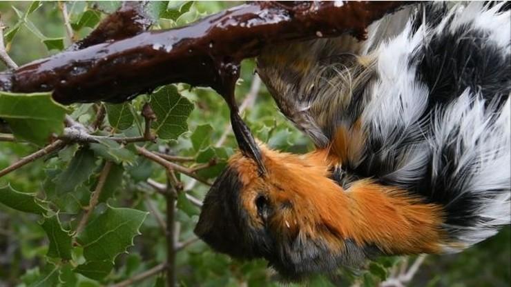 Francja kończy z polowaniem na ptaki za pomocą kleju. To ostatni kraj w UE