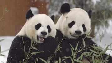 Chwile radości pandy wielkiej. Kamery zarejestrowały bawiące się na śniegu zwierzęta