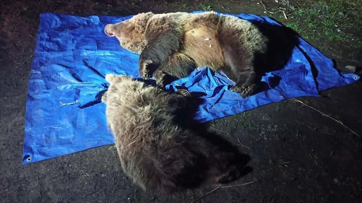 Zastrzelono dwa niedźwiedzie w Tatrach. Zwierzęta podchodziły pod hotel