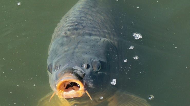 Odpowie przed sądem za gilotynowanie ryb bez uprzedniego ich ogłuszenia