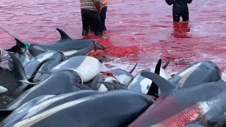 Wyspy Owcze. Rzeź delfinów, zabito ponad 1400 zwierząt. Organizacje w szoku - Polsat News