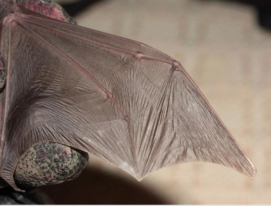 Miniopterus schreibersii charakteryzuje się bardzo długimi i wąskimi skrzydłami