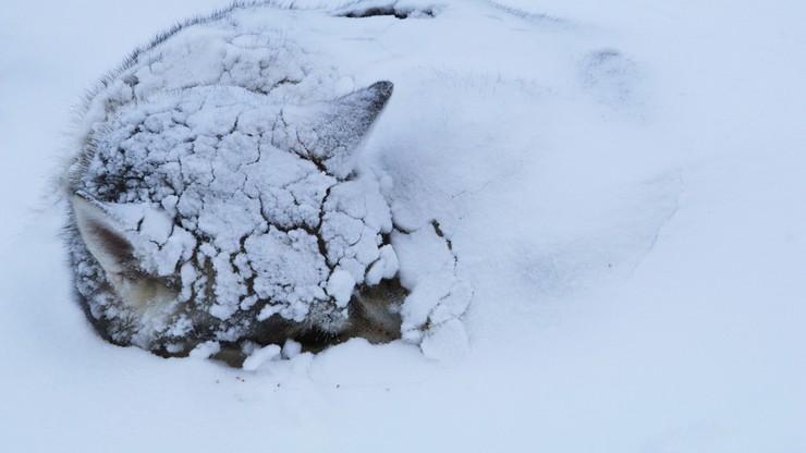 Pies zamarzał przy -54 stopniach. Akcja ratunkowa na Syberii