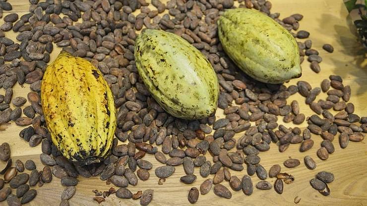 Producenci czekolady zawiedli. Dzieci wciąż pracują na plantacjach kakaowca