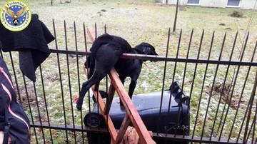 Pepe nabił się na ogrodzenie, bo wystraszył go huk fajerwerków. Wisiał na płocie przez kilka godzin