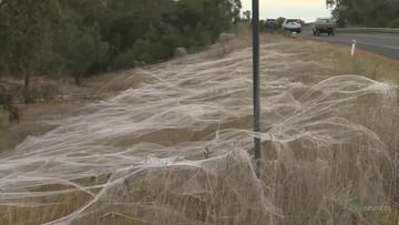 Australia spowita pajęczynami. To skutek powodzi