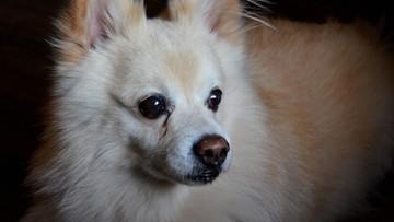 Pies zakaził się koronawirusem. Jest decyzja o kwarantannie zwierząt