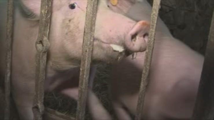 Świnie zjadły właściciela. Wiadomo co się z nimi stanie