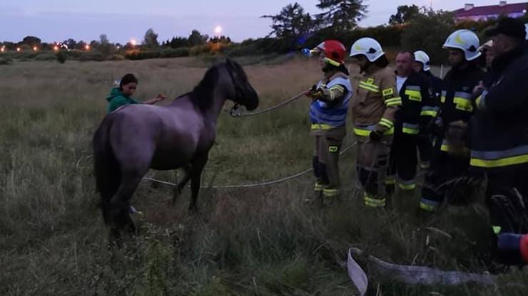 Koń wpadł do studni. Strażacy wyciągnęli go gołymi rękami