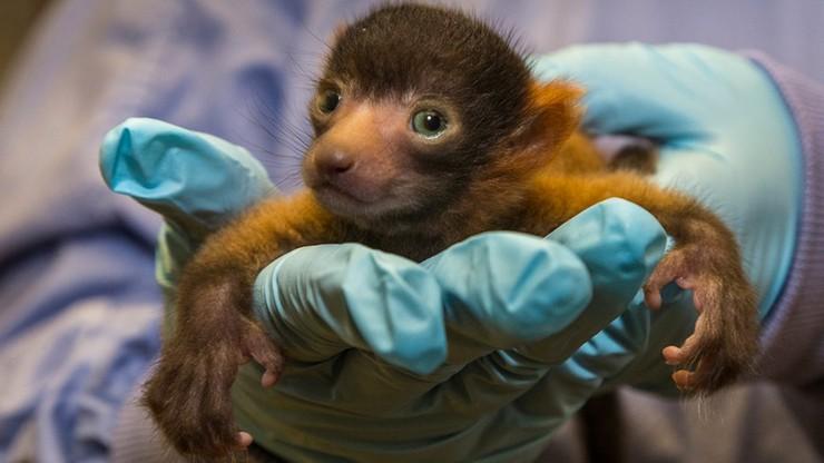 Wiecie jakie zwierzątko przyszło na świat w zoo w San Diego?