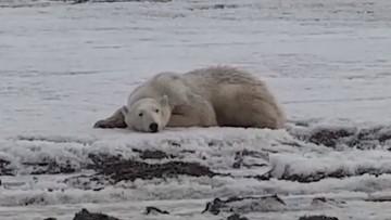 """Wyczerpany niedźwiedź polarny znalazł się setki kilometrów od """"domu"""". Przypłynął na krze"""