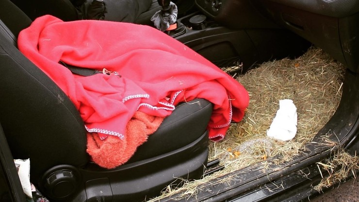 Spała z kozłem w aucie. Policja nie wyklucza kradzieży zwierzęcia
