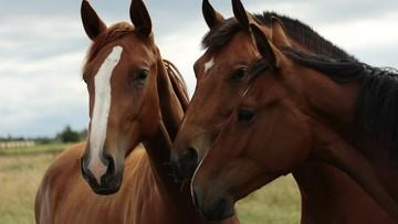 Tajemnicza śmierć koni. Padło 15 zwierząt