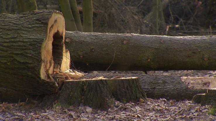 Wycinka Puszczy Białowieskiej. Lasy Państwowe wycofują się z pozwów wobec ekologów