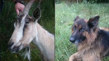 Koza szła drogą, towarzyszył jej pies. Musiała interweniować policja